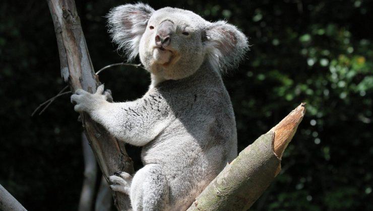 koala bear in tree