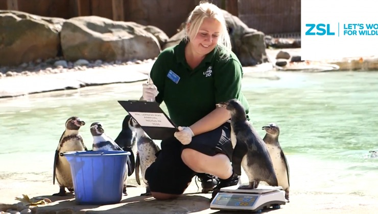 Zookeeper weighing penguins